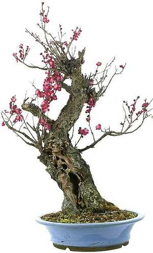 Japanese apricot bonsai (Prunus mume)
