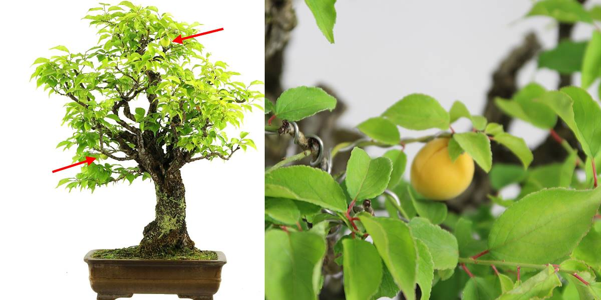 Japanese apricot (Prunus mume) bonsai with fruits
