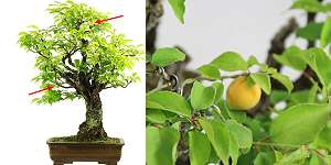 Japanese apricot (Prunus mume) - Bonsai with fruits in July