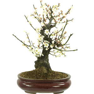 Japanese apricot (Prunus mume) White flowering bonsai