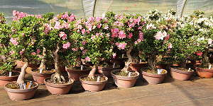 Japanese Satsuki azalea (Rhododendron indicum) - Our stock of bonsai and prebonsai