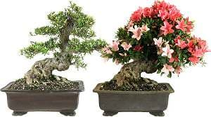 Japanese Satsuki azalea (Rhododendron indicum) - Bonsai with strong trunk. Recording end of april and beginning of june
