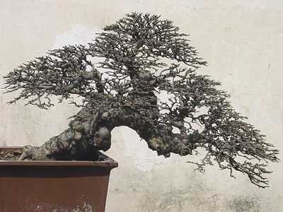 Bonsai dell'olmo cinese (Ulmus parvifolia), Shouzou (Cina)