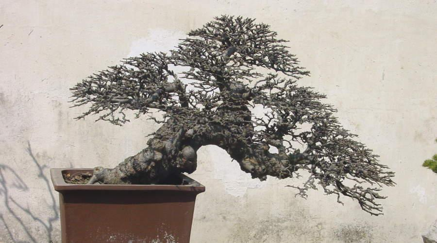 Bonsai Chinese elm (Ulmus parvifolia) Shouzou (China)