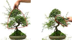 Pruning of a Chinese elm bonsai (Ulmus parvifolia) - Planning before pruning