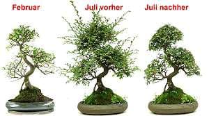 Pruning of a Chinese elm bonsai (Ulmus parvifolia) - Overview