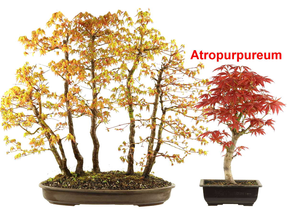 Japanese Maple Bonsai Care Bonsaischule Wenddorf