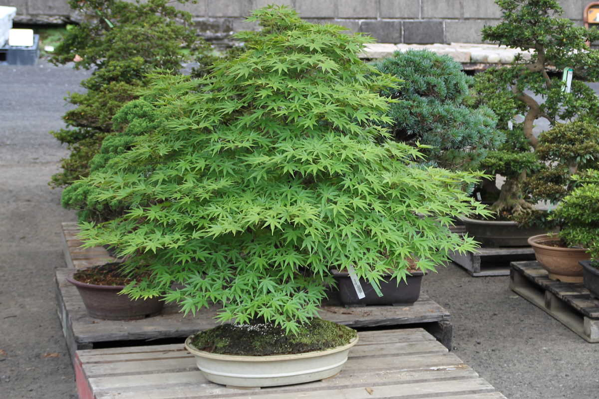 Fächerahorn Bonsai Import (Acer palmatum)