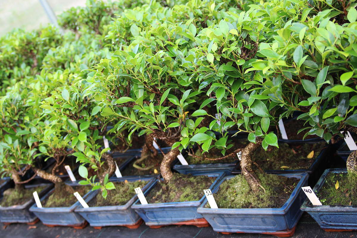 Ficus Bonsai - Stock pictures