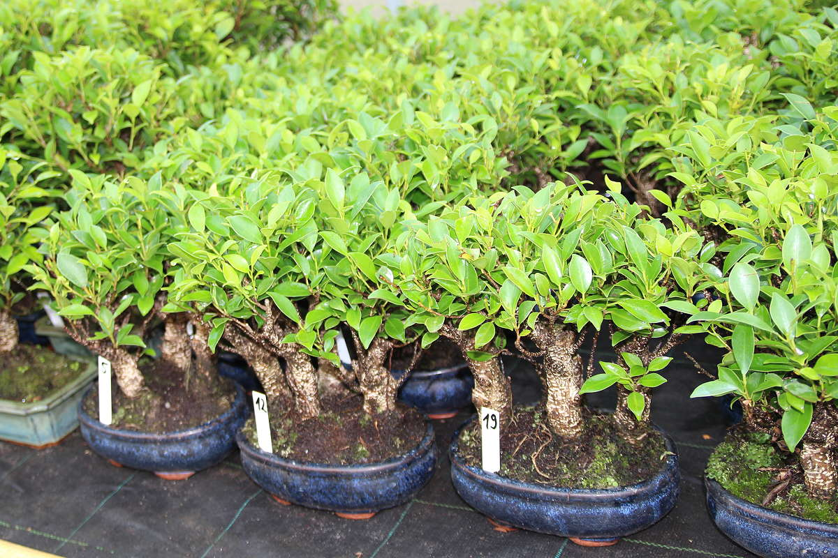 Ficus Bonsai - nostro stock