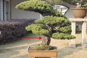 White pine bonsai (Pinus pentaphylla) on Black pine roots - Grafting point is visible