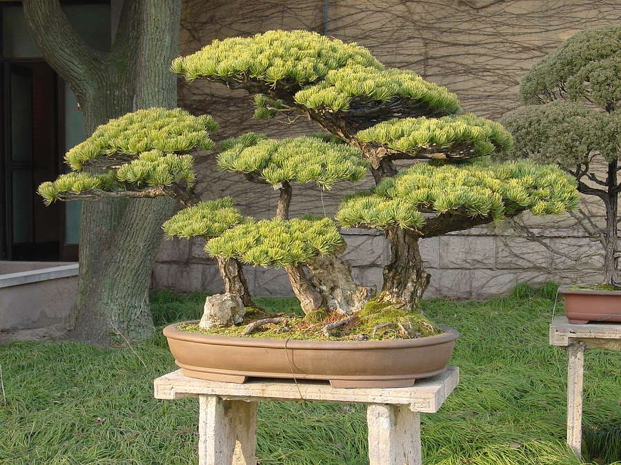 White Pine Bonsai Care Bonsaischule Wenddorf