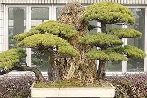 White pine bonsai - Botanical garden Shanghai