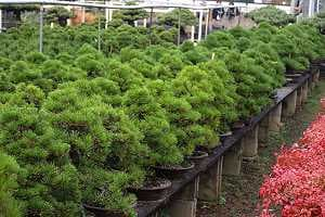 White pine bonsai - Import - Stock in a japanese export nursery