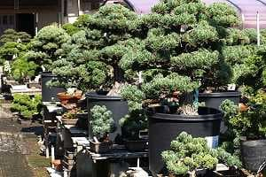 White pine bonsai - Import - Stock in a japanese export nurseryi