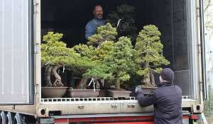 White pine bonsai - Import - Unloading of a container