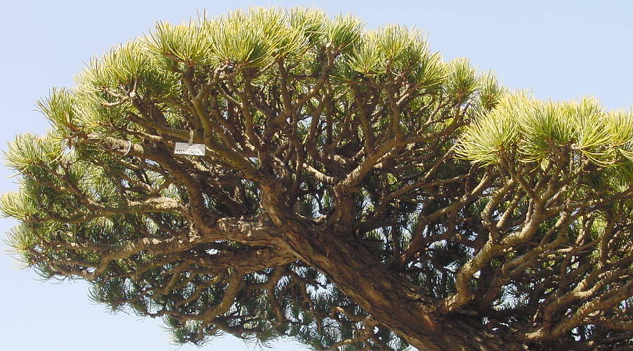 Bonsai White pine - Dense branches