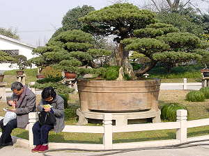 White pine bonsai Shanghai