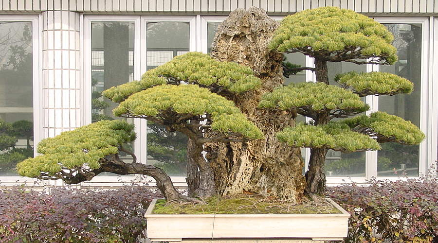 Bonsai Japanese white pine (Pinus pentaphylla) - Forest design with rocks