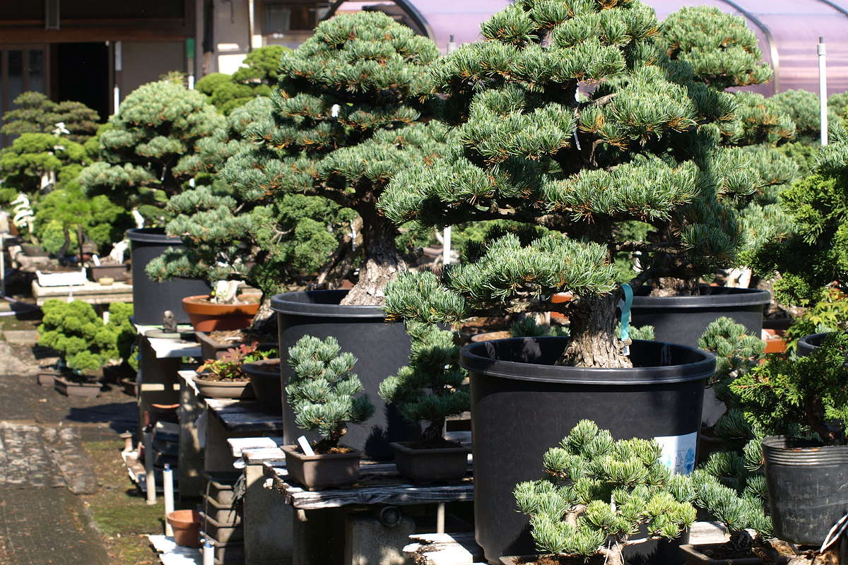 Japan Import - Japanese white pines bonsai