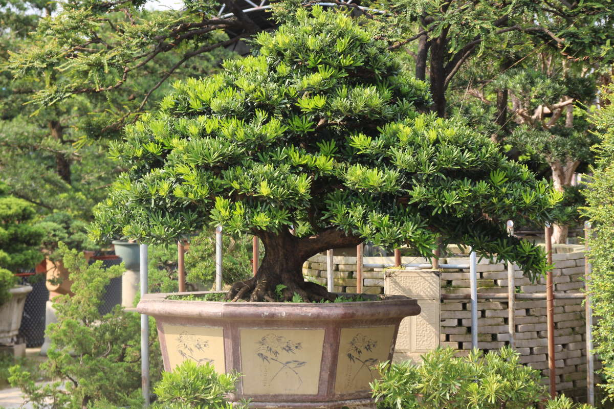 Podocarpus on a bonsai market in south china