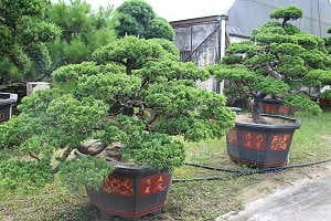 Wacholderbonsai (Juniperus chinensis) auf einem Bonsaimarkt in China