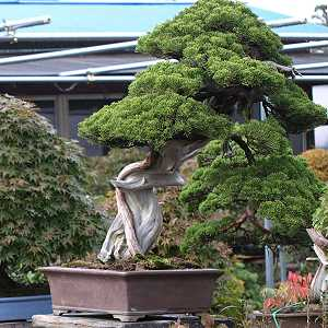 Bonsai di ginepro (Juniperus chinensis) in un vivaio di bonsai giapponese