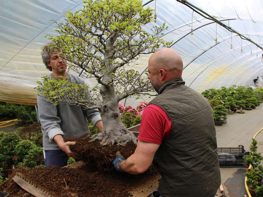 Bonsai tree repotting in our Bonsai nursery in Wenddorf
