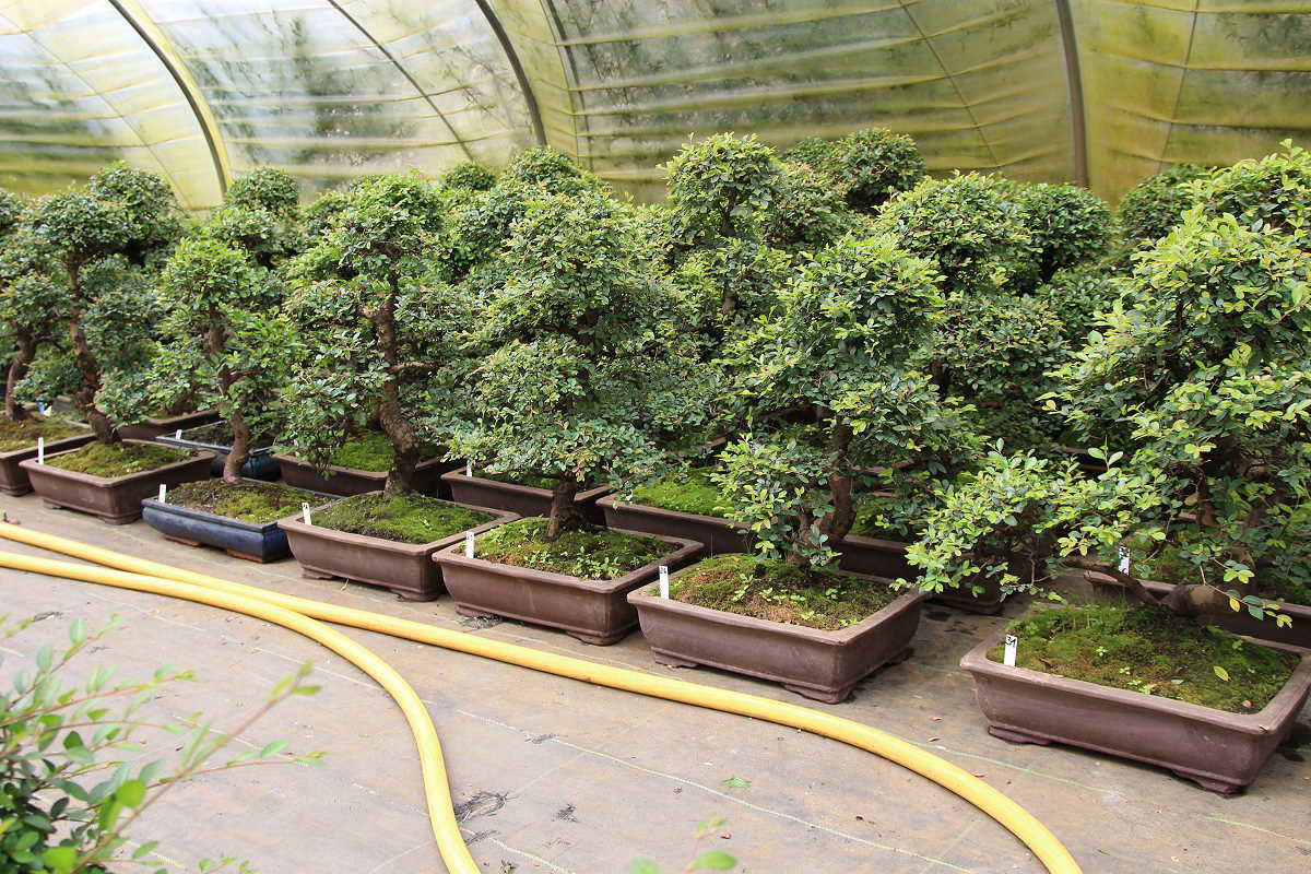 Chinese elm bonsai - stock in summer