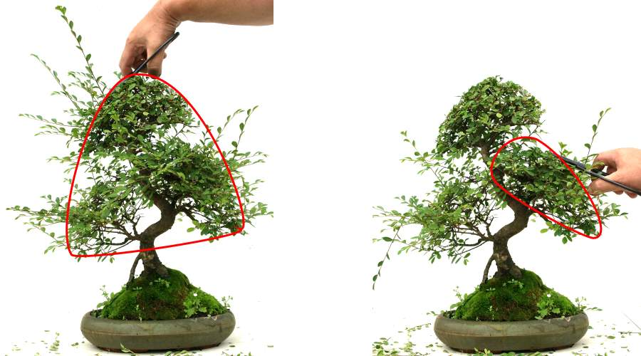 Bonsai pruning of Chinese elm