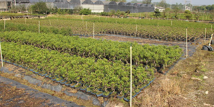 Ficus bonsai - import - ficus bonsai in the field