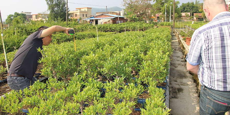 Ficus Bonsai - import - selection from the producer