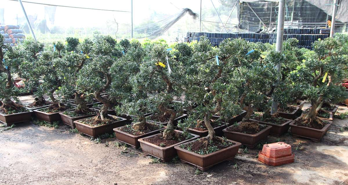 Podocarpus bonsai before being loaded in the container in a Chinese export nursery