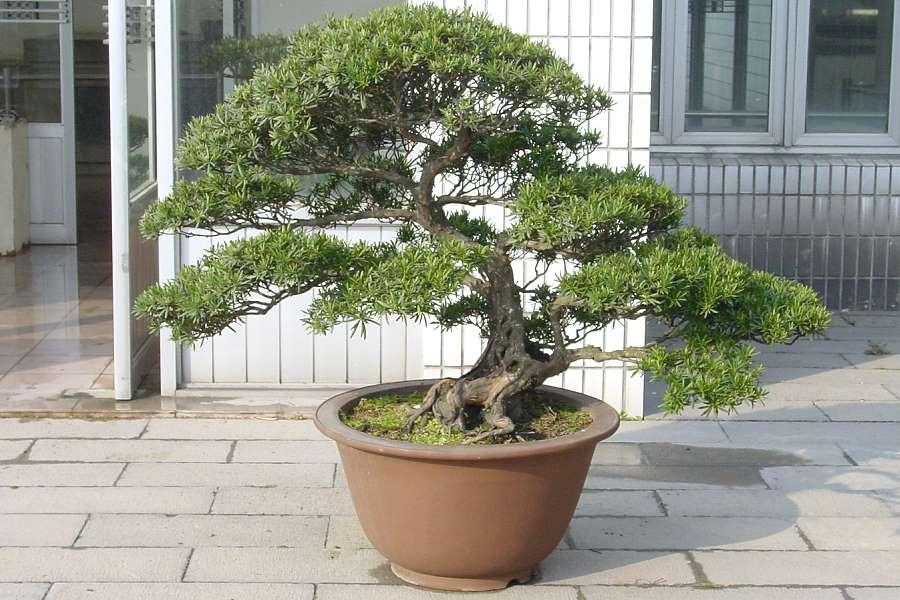 Chinese yew bonsai in the Botanical Garden of Shanghai