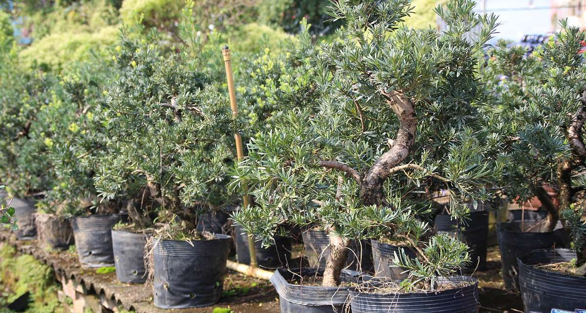 Podocarpus prebonsai in a Chinese export nursery