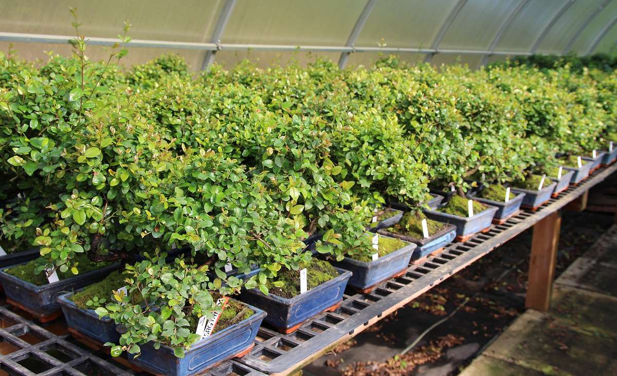 Sageretia Bonsai - Stock after import and pruning