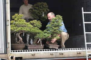 White pine bonsai - Import - Unloading a container