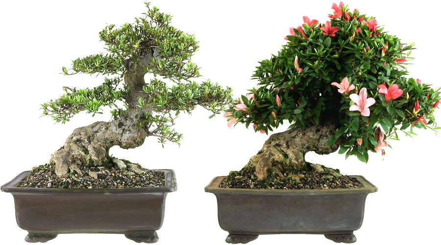 Satsuki-Azaleen (Rhododendron indicum) - Bonsai with strong trunk. Recording end of April and beginning of June