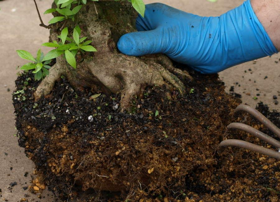 Repotting Bonsai Satsuki Azalea Rhododendron indicum - Remove old bonsai soil with a root claw