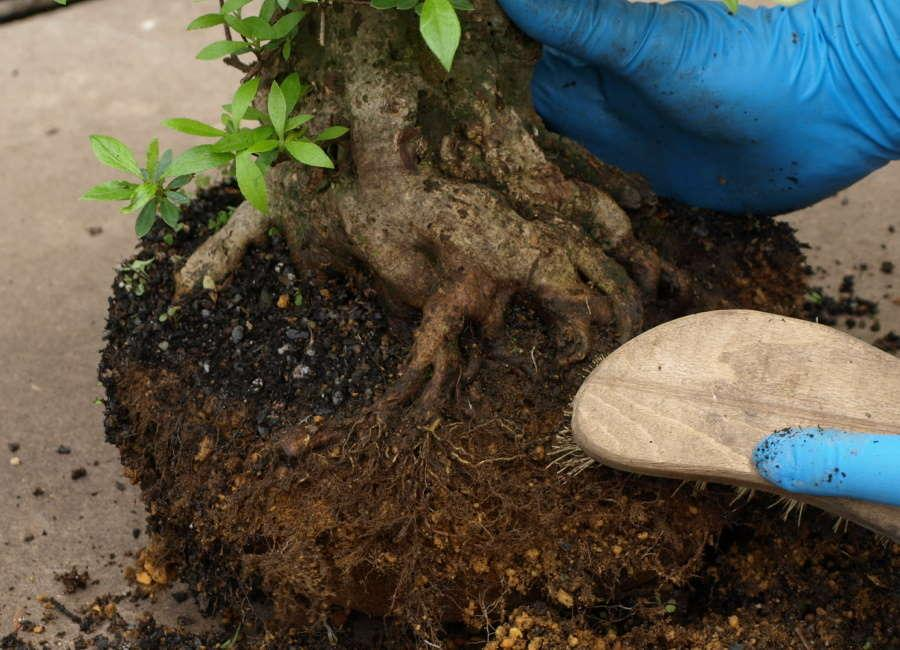 Repotting Bonsai Satsuki Azalea Rhododendron indicum - Clean roots of moss and soil
