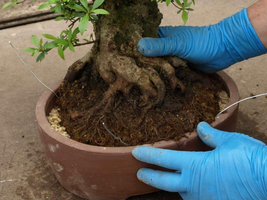 Bonsai Satsuki-Azalee Rhododendron indicum potting - Determine position and potting depth