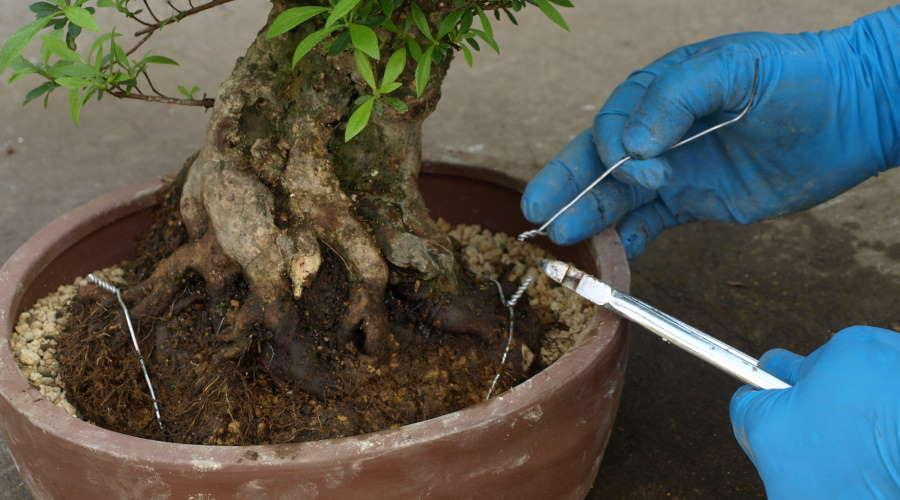 Repotting Bonsai Satsuki Azalea Rhododendron indicum - Fix root ball of bonsai with wire