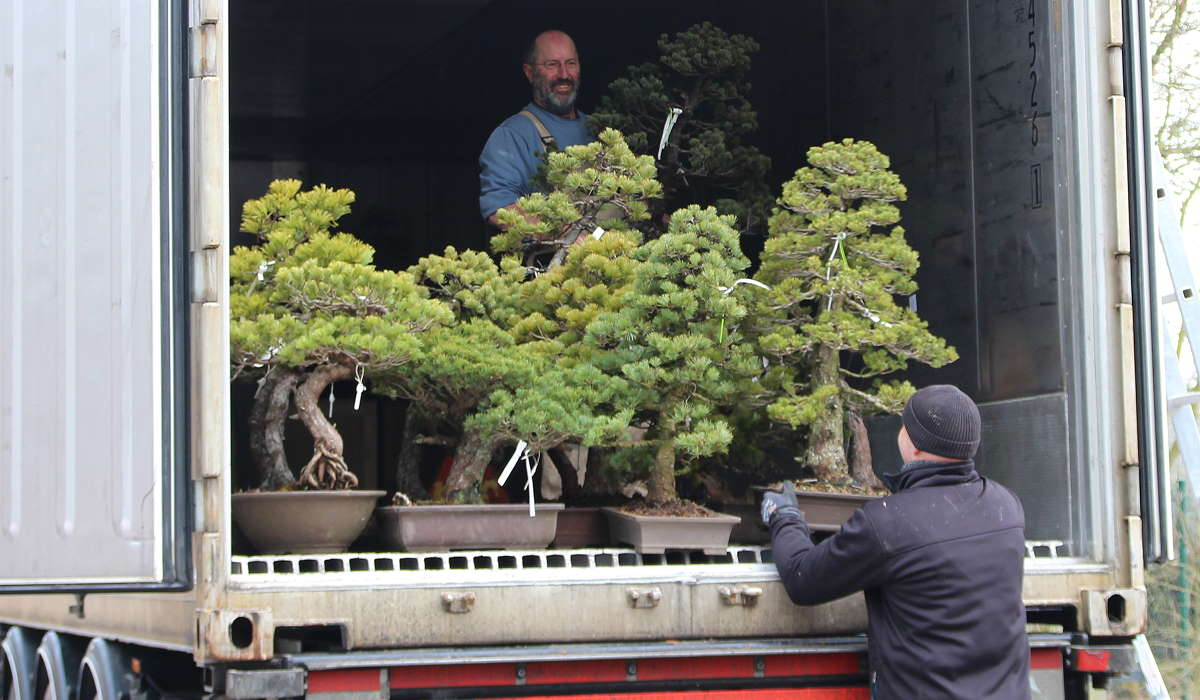 Pine Bonsai - Japan Import - Unloading container
