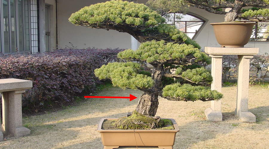 White pine bonsai (Pinus pentaphylla) - Grafting point