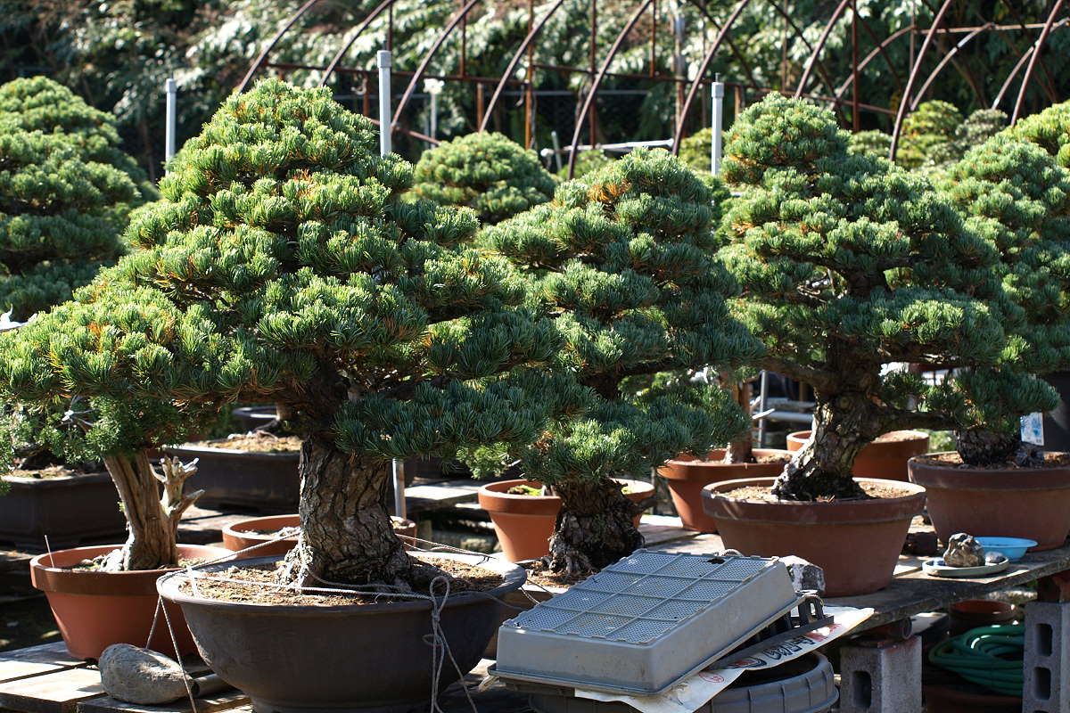 Mädchenkiefer Bonsai Import Japan