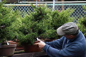 Selection of juniper bonsai (Juniperus chinensis) in a japanese export nursery