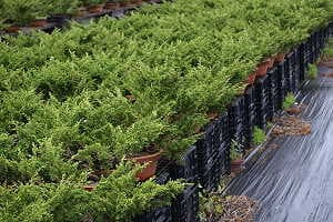Juniper prebonsai (Juniperus chinensis) in a japanese export nursery