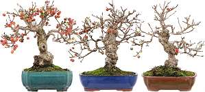 Apple tree bonsai with different, largely matching bonsai pots