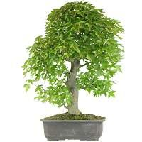 Maple bonsai (Acer)