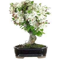 Apple tree bonsai (Malus)
